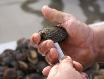 The shucker Royalty Free Stock Image