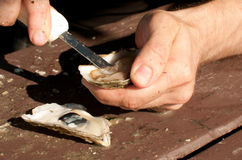 Shucking fresh oysters with knife Stock Photos
