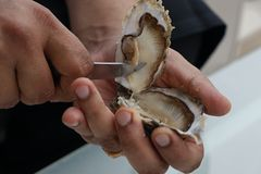Shuck oyster with  knife. Shucking oyster with butter knife, one of the luxury seafood stock images