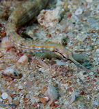 Shultz or guilded pipefish red sea Stock Photos