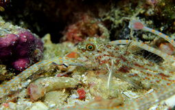 Shultz or guilded pipefish with triplefin blenny red sea Royalty Free Stock Images