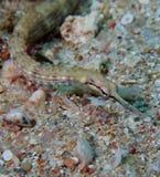 Shultz o Mar Rosso guilded del pipefish Fotografie Stock