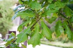 Shumard Oak, Quercus Shumardii. At Florida Botanical Garden Stock Image