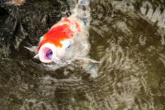 Shut Your Mouth. Koi with mouth open gasping in air stock images