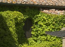 Shuttered window of old house, overgrown with vines Royalty Free Stock Image