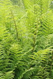 Shuttlecock Fern. A background of vivid green shuttlecock fern fronds found in shady gardens and woods Stock Images