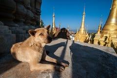 Собака на пагодах Shwe Indein Стоковая Фотография RF