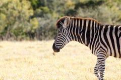Shy взгляд - зебра Burchell Стоковые Фотографии RF