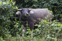 Shy adult Asian water buffalo staring. With head raised while standing in bush in Vietnam Royalty Free Stock Photos