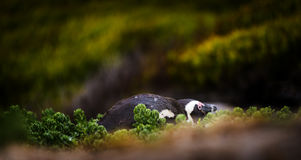 Shy African Penguin Stock Image