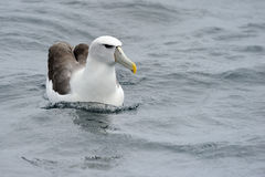 Shy Albatross. In water Royalty Free Stock Images