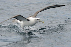 Shy Albatross. In water Stock Photo