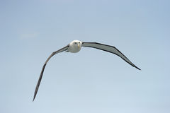Shy Albatross. Shy Albatros flying with blue sky Stock Images