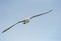 Shy Albatross. Flying with blue sky