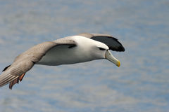 Shy Albatross. Flying with water stock images