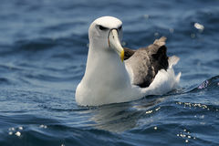 Shy Albatross. (Diomedea epomophora) sitting in the water royalty free stock photography