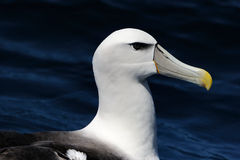 Shy Albatross. Portrait of a Shy Albatross (Diomedea epomophora Stock Photography