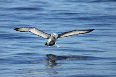 Shy Albatross coming down to land. Shy Albatross (Thalassarche cauta) coming down to land on the ocean Stock Photography