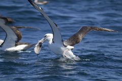 Shy Albatross. (Diomedia cauta) feeding on bycatch from a longline trawler off Cape Town, South Africa royalty free stock image