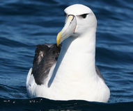 Shy Albatross Royalty Free Stock Image