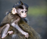 Shy Baby Monkey Stock Image