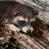 Shy Baby Raccoon (Procyon lotor) Royalty Free Stock Image
