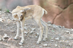 Shy baby urial Royalty Free Stock Images