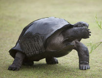 Shy big turtle covering its snout with paw Stock Image