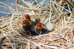 Shy Bird. A coot nest with four coot puppy and one bird who is still living the dream in an egg Royalty Free Stock Photo