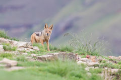 Shy black backed jackal scavenging for food on the side of mount Royalty Free Stock Photography