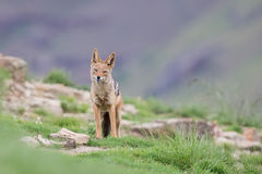 Shy black backed jackal scavenging for food on the side of mount Stock Images