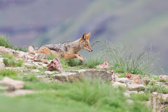 Shy black backed jackal scavenging for food on the side of mount Royalty Free Stock Image