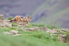 Shy black backed jackal scavenging for food on the side of mount Stock Photography