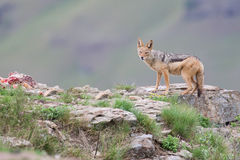 Shy black backed jackal scavenging for food on the side of mount Royalty Free Stock Photo