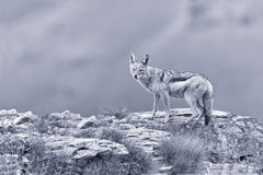 Shy black backed jackal scavenging for food on the side of mount Stock Photo