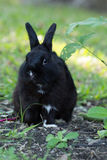 Shy black bunny rabbit with seedling. Shy black bunny rabbit with seedling Royalty Free Stock Photo