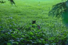 Black Cat Green background matches green eye. A shy black cat peaks out of the green brush to reveal a matching color green eye. In an English country garden, UK Royalty Free Stock Photos