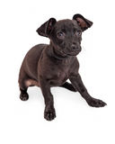 Shy Black Chihuahua Dog Sitting on White Royalty Free Stock Photos