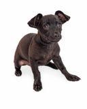 Shy Black Chihuahua Dog Sitting on White Royalty Free Stock Photos