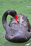 Shy black swan Stock Image