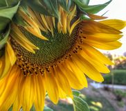 Shy Blooming Sunflower royalty free stock photography