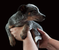 Shy Puppy. Shy blue heeler puppy enjoying being held by woman royalty free stock images