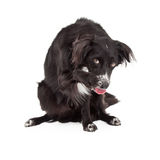 Shy Border Collie Mixed Breed Dog. A shy Border Collie Mix Breed Dog cowering and extending its paw for a friendly shake Stock Images