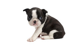 Shy boston terrier puppy Stock Images