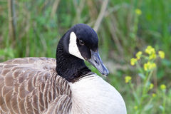 Shy cackling goose Stock Images