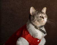 Shy Cat. A shy cat closing his eye for his Christmas portrait Stock Image