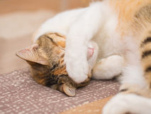 Shy Cat on Bed Royalty Free Stock Image