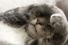 Shy Cat with Paws over Face. Bashful Gray Cat with Paws over Face Royalty Free Stock Images