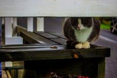 Shy Cat in Rotorua, NZ. Cat staring from behind porch at Whakarewarewa, the Living Maori Village in Rotorua, New Zealand, Aotearoa Royalty Free Stock Photos