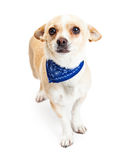 Shy Chihuahua Dog Wearing Blue Bandana Royalty Free Stock Photography